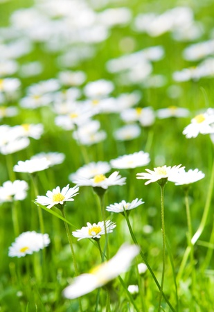 White and yellow daisies on meadow photo