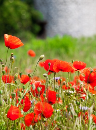 Pretty red poppies on wild meadow photo