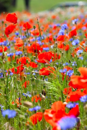 Meadow with beautiful red poppies and blue cornflowers