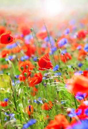 Beautiful poppies and cornflowers on wild meadow photo