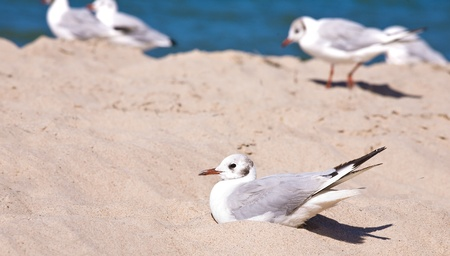 seabirds: Seagull sit in a sand on the beach