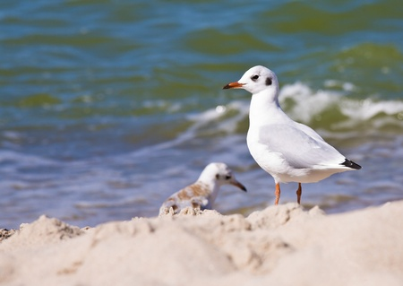 seabirds: Seagull on the beach. Sea in background