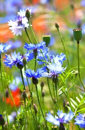 Beautiful blue cornflowers and small green poppys heads photo