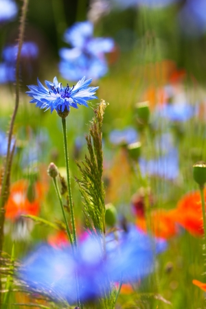 Close up on blue cornflower on blured background Stock Photo - 17105708