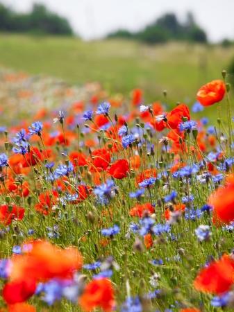 wild flowers: Wilde weide met rode papavers en blauwe korenbloemen Stockfoto