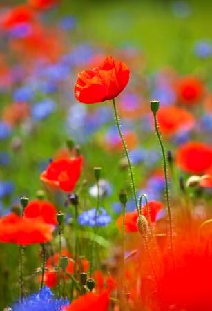 centaurea: Abstract blured red poppies background