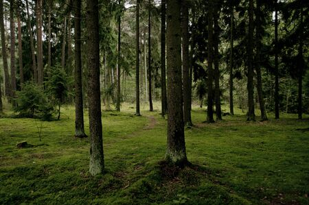 Actual, no modify picture, green gloomy forest at autumn. Wild, untouched nature. Clearly visible moss, tree trunks and green forest deck.