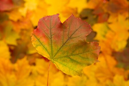 beautiful thanksgiving: Colorful maple leaves