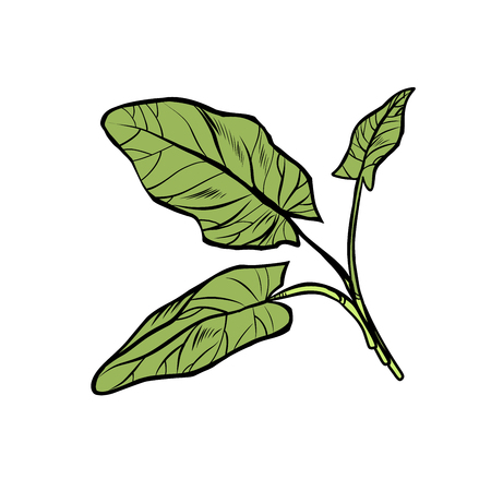 sorrel, garden of culinary plants, spices. isolate on white background