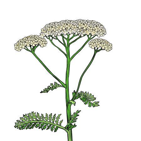 yarrow milfoil flower medicinal plant. Achillea millefolium. Pop art retro vector stock illustration drawing