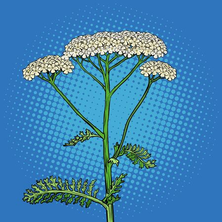 yarrow milfoil flower medicinal plant. Achillea millefolium. Pop art retro vector stock illustration drawing
