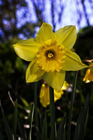 Daffodil, a spring sign. Stock Photo - 13590809