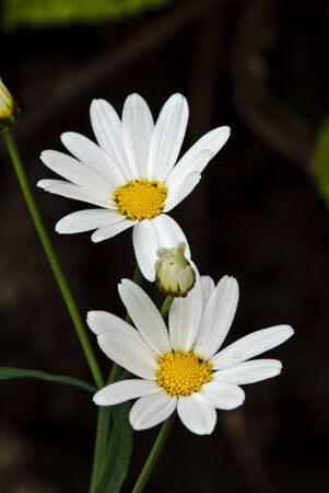 Oxeye daisy close-up. photo