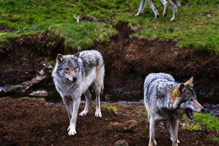 kristiansand: Wolfs Stock Photo