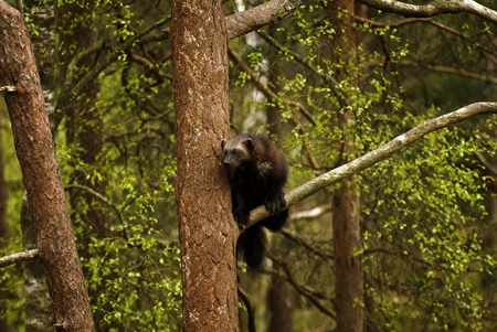 kristiansand: Wolverine in a tree Stock Photo