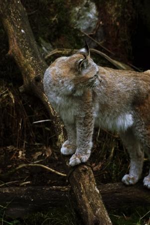 kristiansand: An eurasian lynx looking over its shoulder