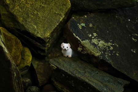 stoat: A wintercoated stoat  Mustela erminea  at Obrestad partly hiding the rocks  Stock Photo