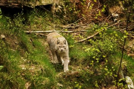 kristiansand: Eurasian lynx at Kristiansand Zoo