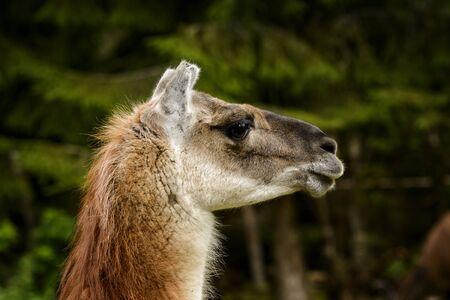 amadeus: Llama at Amadeus Zoo, Norway  Stock Photo