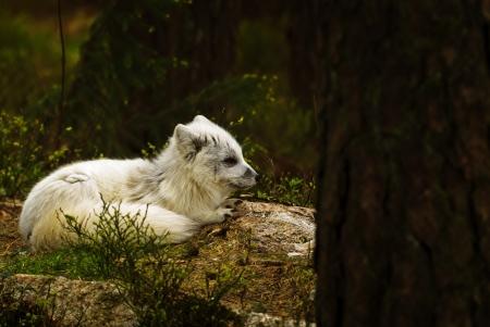 kristiansand: Artic fox at Kristiansand Zoo