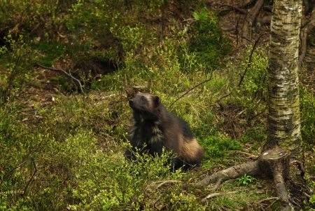 kristiansand: A Wolverine at Kristiansand Zoo, Norway.