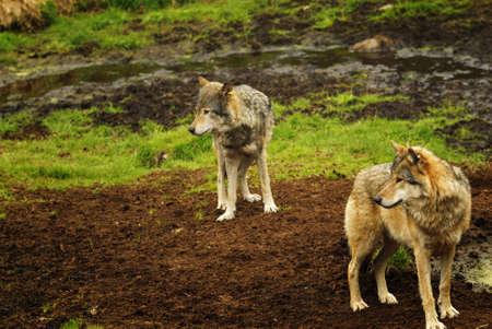 kristiansand: Eurasian wolf at Kristiansand Zoo, Norway.