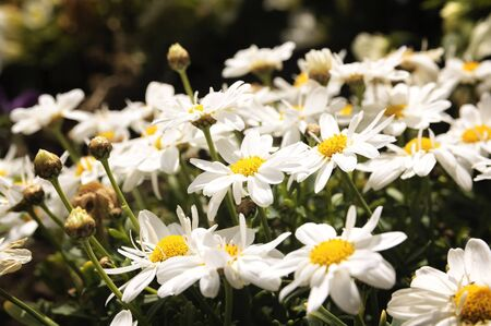 oxeye: Oxeye daisy, a clear sign of spring. Stock Photo