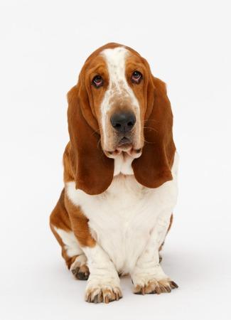 basset: Dog, basset hound is sitting on the white background, isolated Stock Photo