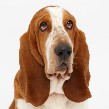개, 고립 된 흰색 배경에 바 셋 하 운 드 초상화 스톡 콘텐츠