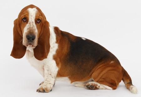 Dog, basset hound is sitting on the white background, isolated Stock Photo