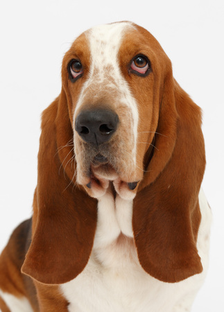 basset: Dog, basset hound portrait on the white background, isolated Stock Photo