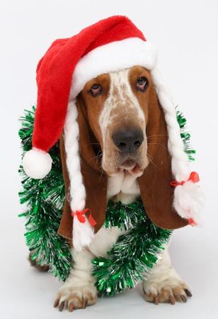 basset: Happy New Year, Christmas Basset  sitting, isolated on white background