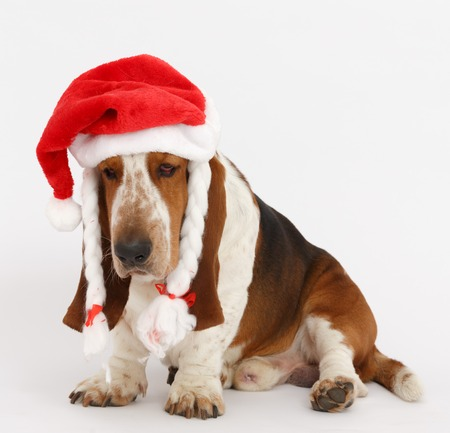 Happy New Year, Christmas Basset  sitting, isolated on white background