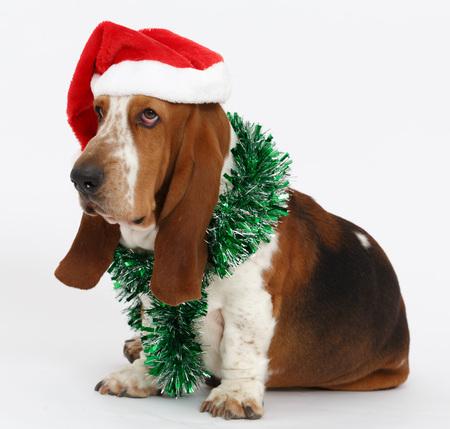 Feliz Año Nuevo, Navidad Basset sentado, aislado en fondo blanco