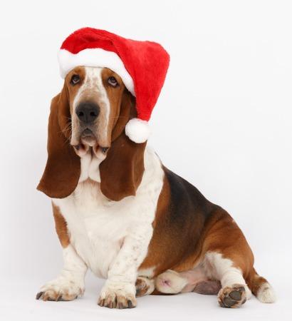 Happy New Year, Christmas Basset  sitting, isolated on white background