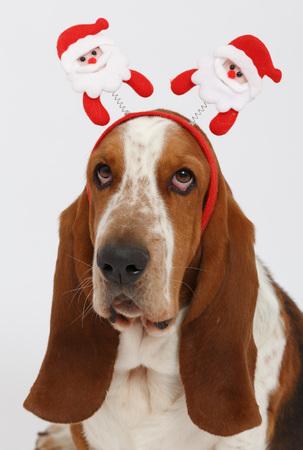 basset: Happy New Year, Christmas Basset , isolated on white background