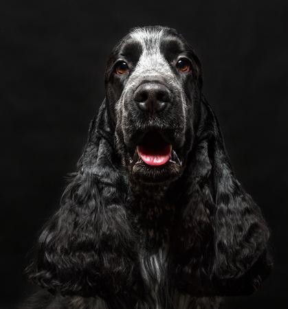 English cocker spaniel dog isolated on black background Stock Photo