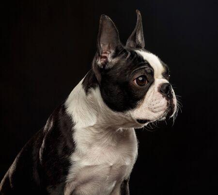 Boston Terrier Dog on Isolated Black Background 스톡 콘텐츠