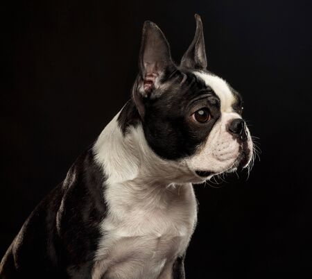 Boston Terrier Dog on Isolated Black Background 版權商用圖片