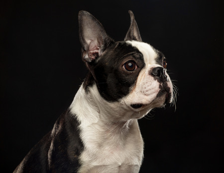 Boston Terrier Dog on Isolated Black Background 免版税图像