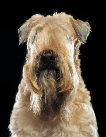 Irish soft coated wheaten terrier Dog on Isolated Black Background Stock Photo