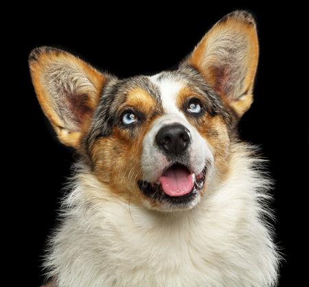 Welsh Corgi Cardigan Dog Isolated on Black Background in studio 写真素材