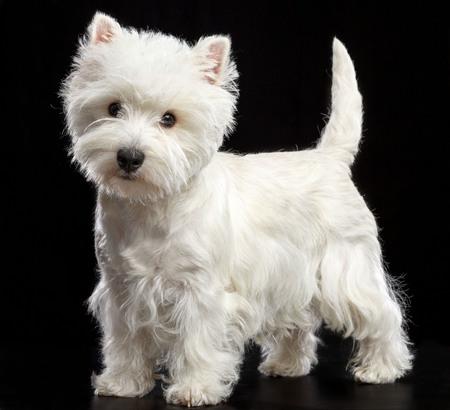 West Highland white terrier Dog Isolated on Black Background in studio Stock Photo