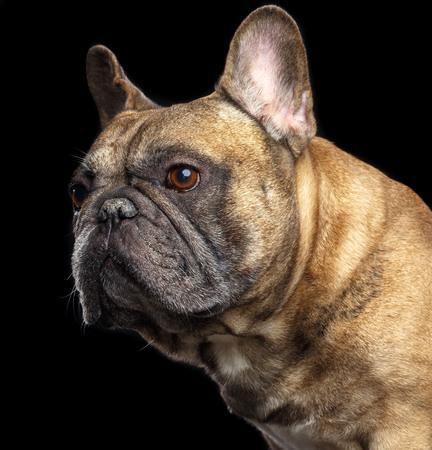 French Bulldog Dog Isolated on Black Background in studio Stock Photo