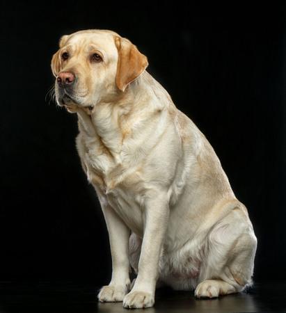 Labrador retriever Dog on Isolated Black Background in studio