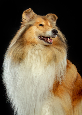 Collie Dog on Isolated Black Background in studio Stock Photo