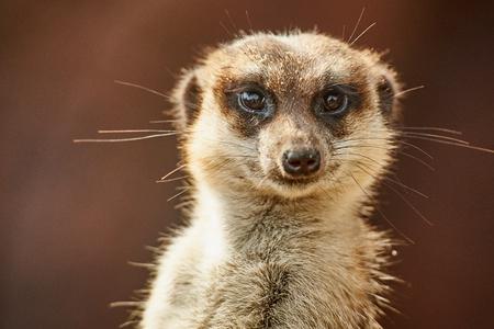 The meerkat or suricate (Suricata suricatta) is a small carnivoran belonging to the mongoose family (Herpestidae). It is the only member of the genus Suricata. Stock Photo