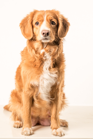 The Nova Scotia Duck Tolling Retriever, or Toller for short, is a medium-sized breed of gundog bred primarily for hunting. Stock Photo