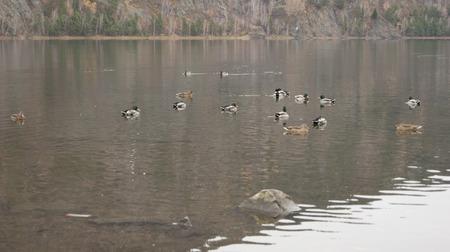 wild ducks in the city Stock Photo