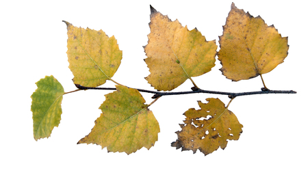 yellowing birch leaves